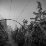 Oasi in Fog