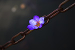 purple blossom in chains