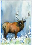 Elk, Bull A1001