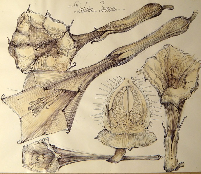 5 Plant in natural relation to the funnel vortex (datura inoxia)