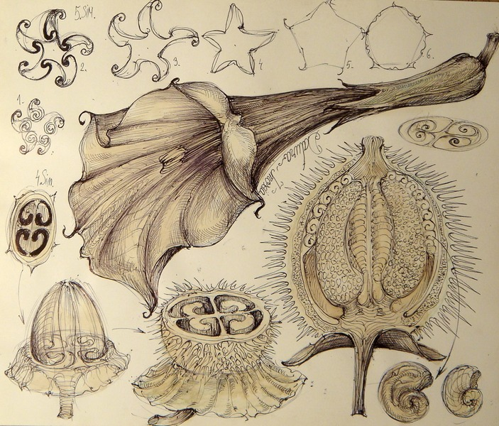 6 Planta natural mimetic datura inoxia palnie sfera vortex morfo