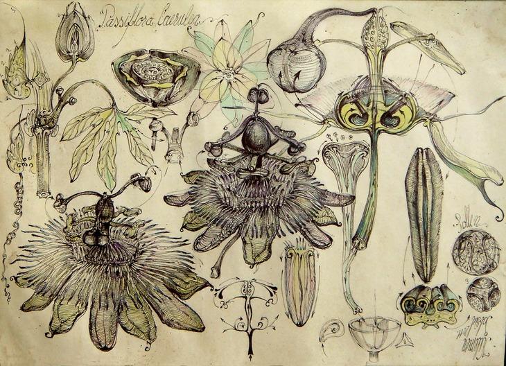8 Passiflora Caerulea simerie sfera vortex