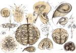 13 Sinteza manifestarea principiului sfera-vortex vegetal animal