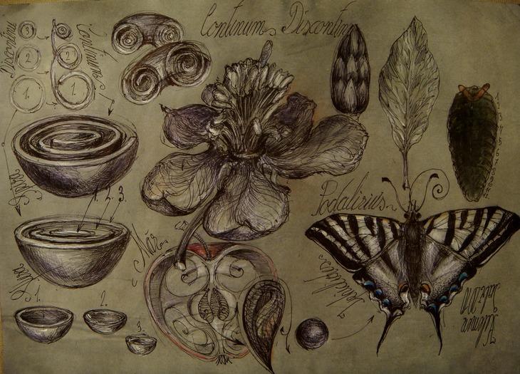 14 Podalirius coada randunici mar, floare vortex concentric sfer