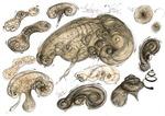 18 Human embrion Vortex principium