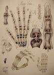 28 Human carpiene tendoane sectiunea Au vortex sfera  anatomia p