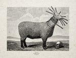 CORDEROS DEGOLLADOS (slaughtered lambs)
