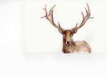 Rack of Deer
