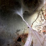 Scythropia