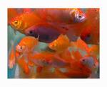 nice gold fish s