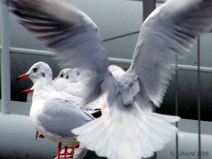 Breite Deine Flügel Aus - Spread Your Wings
