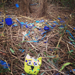 Travelling Owl Project - bower bird nest