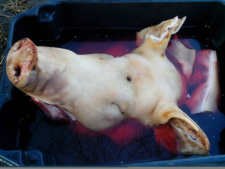 Glücksbringer das Schwein