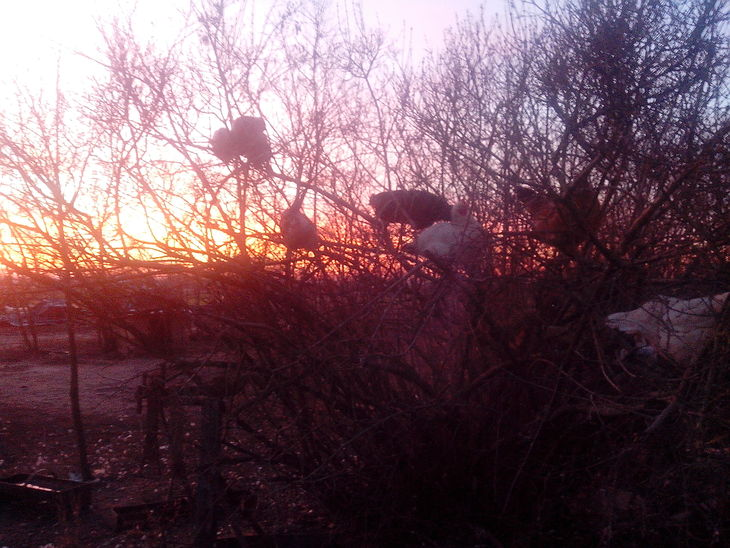 Hühner auf dem Baum...(Pusta)