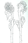 flowers drawings ink on paper flower drawing raphael perez art