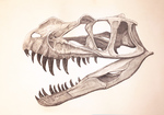 Ceratosaurus nasicornis juvenile skull study