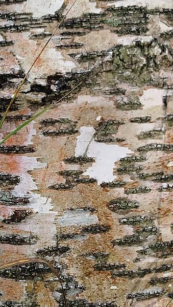 Woman in a Birch tree