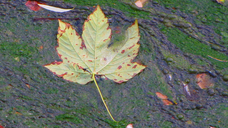 IMG_2323 Nature & Trash - Maple Leave