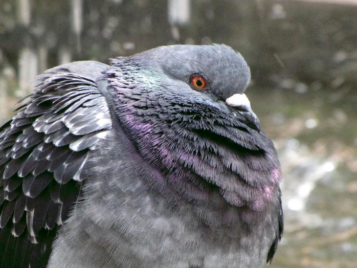 IMG_3055 - Nature`s Beauties - Master Pidgeon