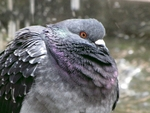 IMG_3055 - Nature`s Beauties - Master Pidgeon
