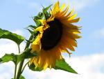 IMG_6998 - Nature`s Beauties - Sun Flower