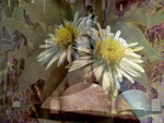 bundy daisies