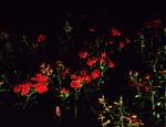 "untitled, series ""night flowers"""