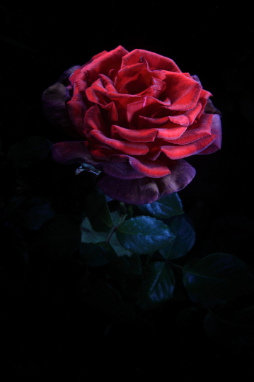 "untitled, series ""night rose"""