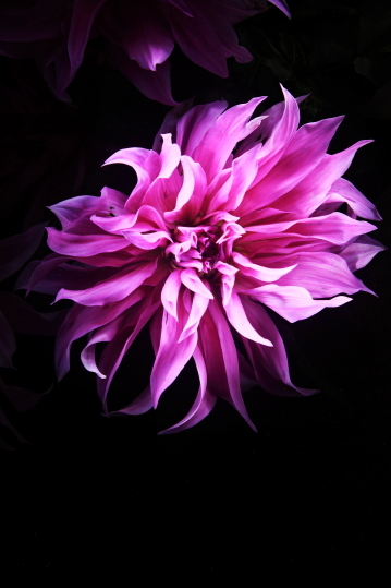 "untitled, series""night dahlia"""