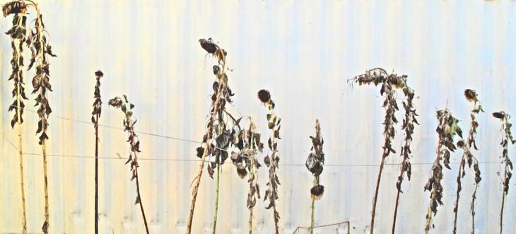The November Progress of Sunflowers