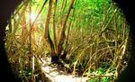 mangrove guadeloupéenne