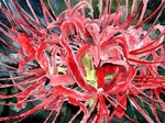 spider-lily-flower paintings