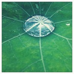 raindrops and nasturtiums