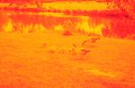 Wildgänse infrarot 2