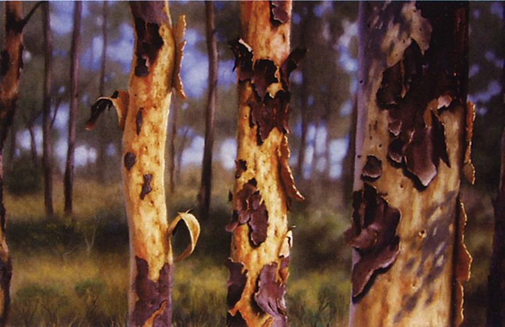 Eucalyptus Peeling Bark
