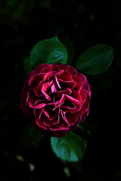 "untitled, series""night rose"""