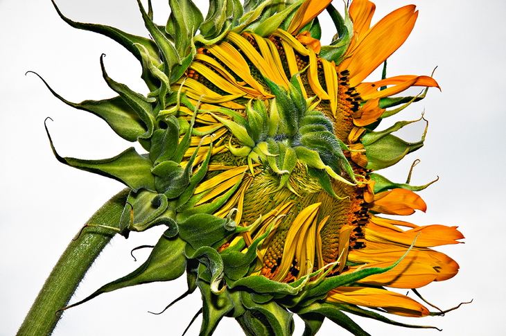 Two Coves Sunflower