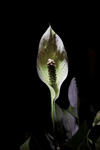 "untitled, series ""night orchidee"""