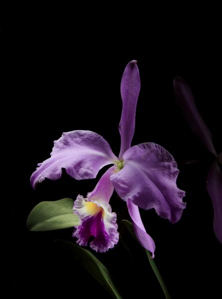 "untitled, series ""night orchidee"""
