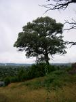 oh that tree in rain again