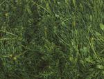 Gras (detail II)