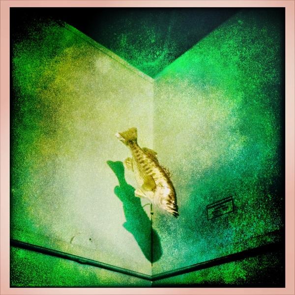 the falling fish