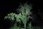 Nachtbaum_Rhens_01