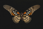 SchmetterlingAnnaMaria03