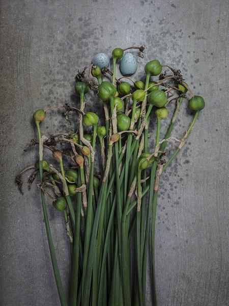 Old Daffodils
