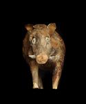 Wildschwein#2