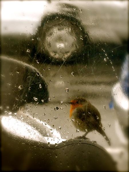 European robin behind the windshield of a motorbike